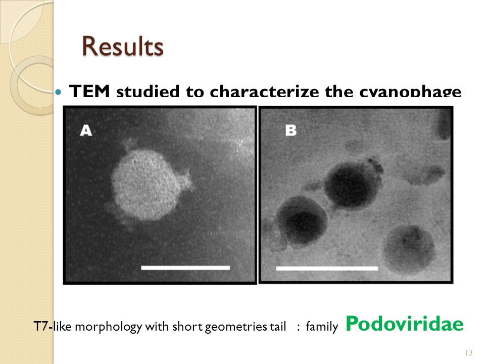 TEM studied to characterize the cyanophage 12 Results T7-like morphology with short geometries tail : family Podoviridae