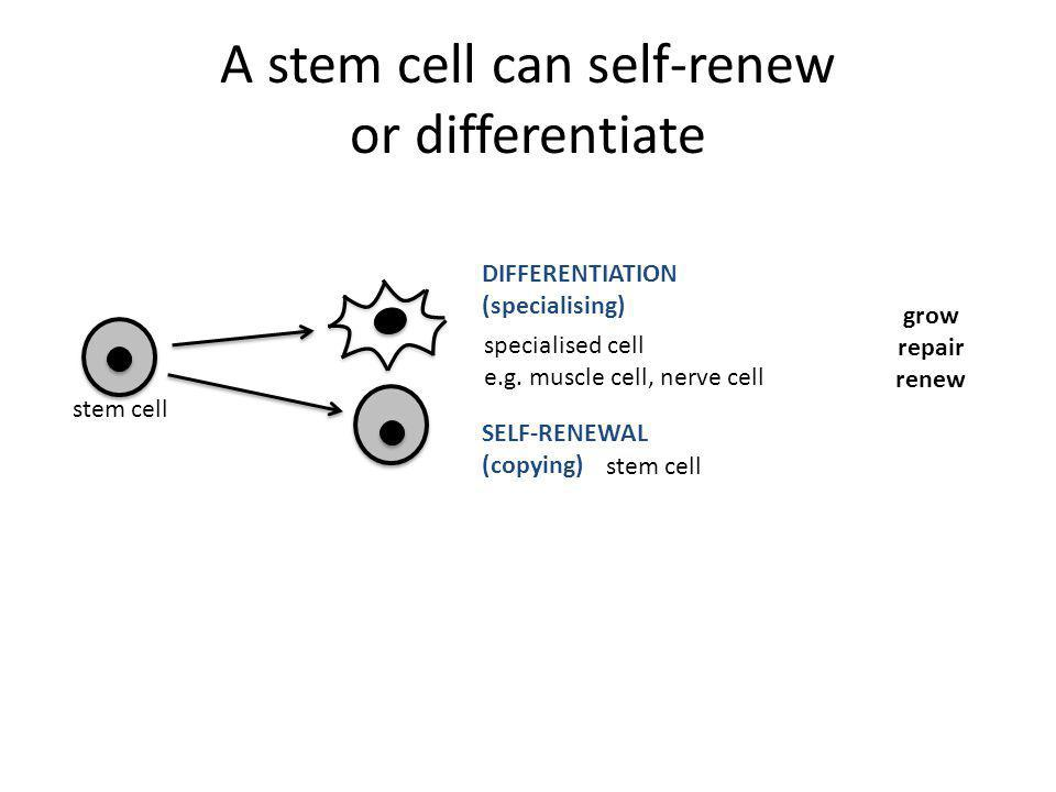 stem cell SELF-RENEWAL (copying) specialised cell e.g. muscle cell, nerve cell DIFFERENTIATION (specialising) grow repair renew A stem cell can self-r