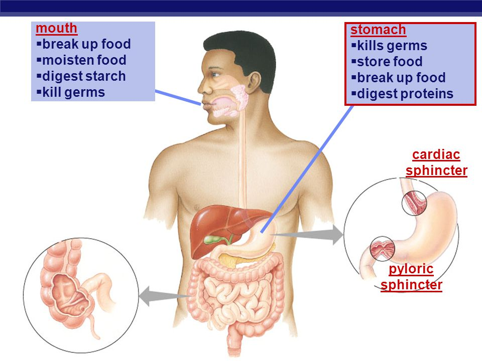 AP Biology Stomach  Functions  food storage  can stretch to fit ~2L food  disinfect food  HCl = pH 2  kills bacteria  breaks apart cells  chemical digestion  pepsin  enzyme breaks down proteins  secreted as pepsinogen activated by HCl But the stomach is made out of protein.