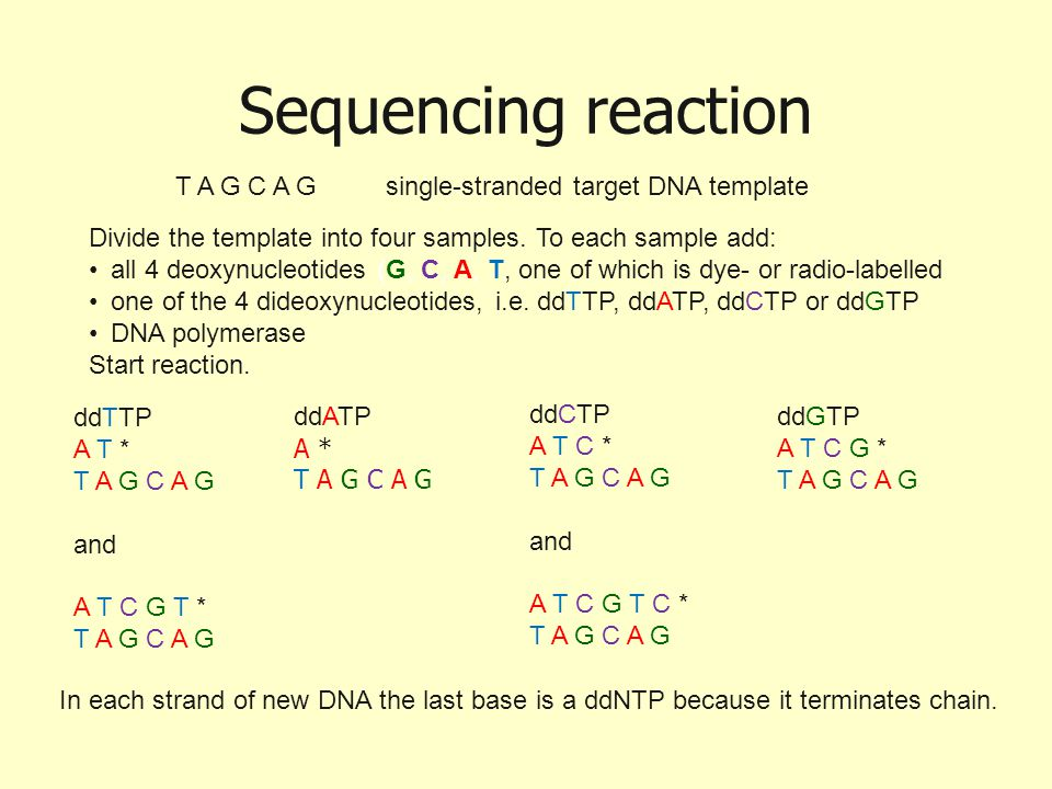 Sequencing reaction T A G C A Gsingle-stranded target DNA template ddTTP A T * T A G C A G and A T C G T * T A G C A G ddATP A * T A G C A G ddCTP A T