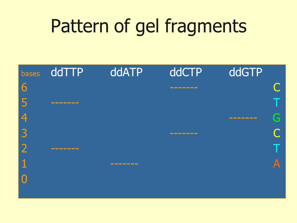Pattern of gel fragments bases ddTTPddATPddCTPddGTP 6------- C 5------- T 4------- G 3------- C 2------- T 1------- A 0 Newly synth DNA is isolated &
