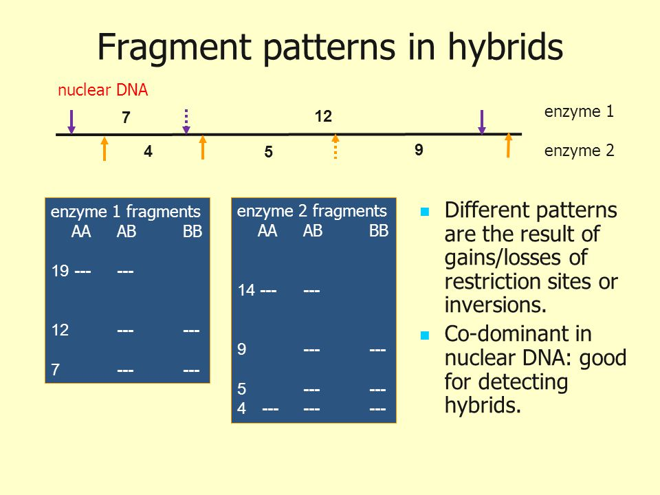 Fragment patterns in hybrids Different patterns are the result of gains/losses of restriction sites or inversions. Co-dominant in nuclear DNA: good fo