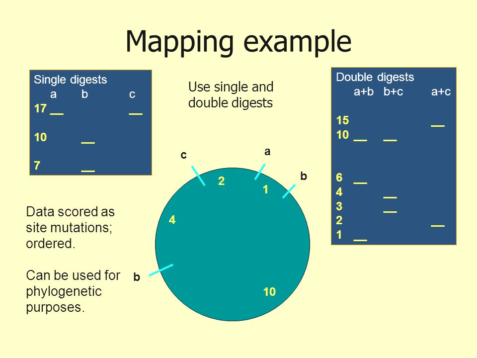 Mapping example b b a c 1 2 4 10 Single digests abc 17 ____ 10__ 7__ Double digests a+bb+ca+c 15__ 10____ 6__ 4__ 3__ 2__ 1__ Data scored as site muta