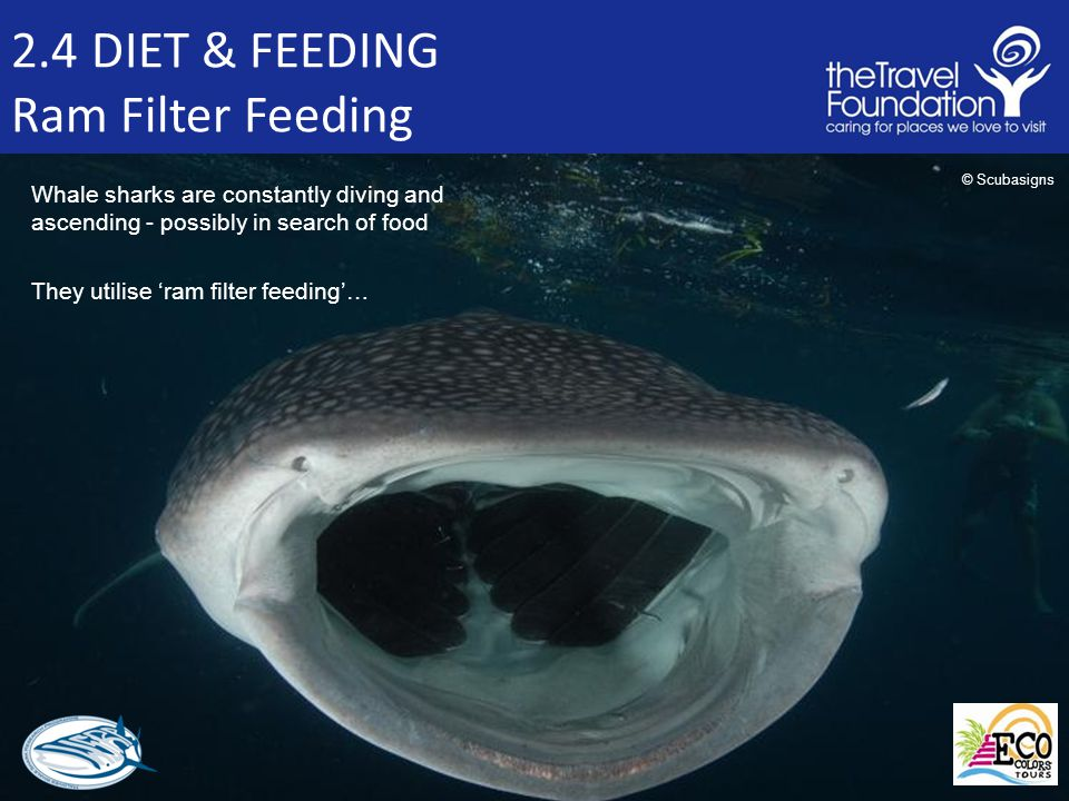 2.4 DIET & FEEDING Ram Filter Feeding Whale sharks are constantly diving and ascending - possibly in search of food They utilise 'ram filter feeding'… © Scubasigns