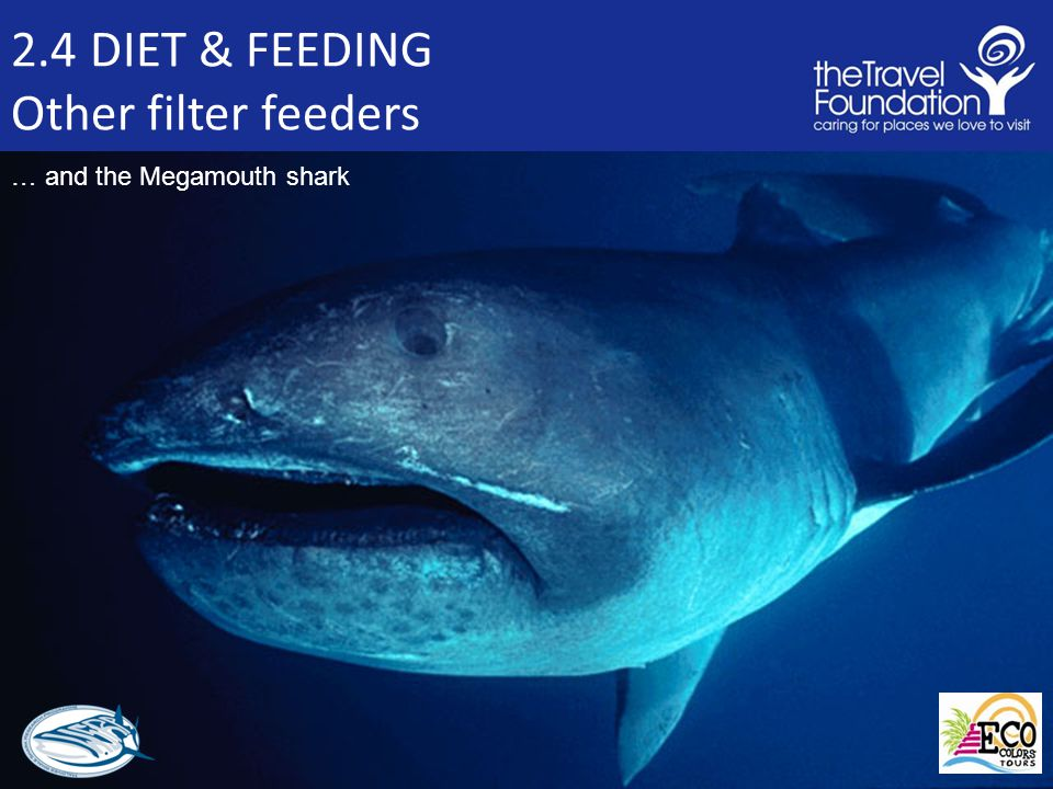 2.4 DIET & FEEDING Other filter feeders … and the Megamouth shark