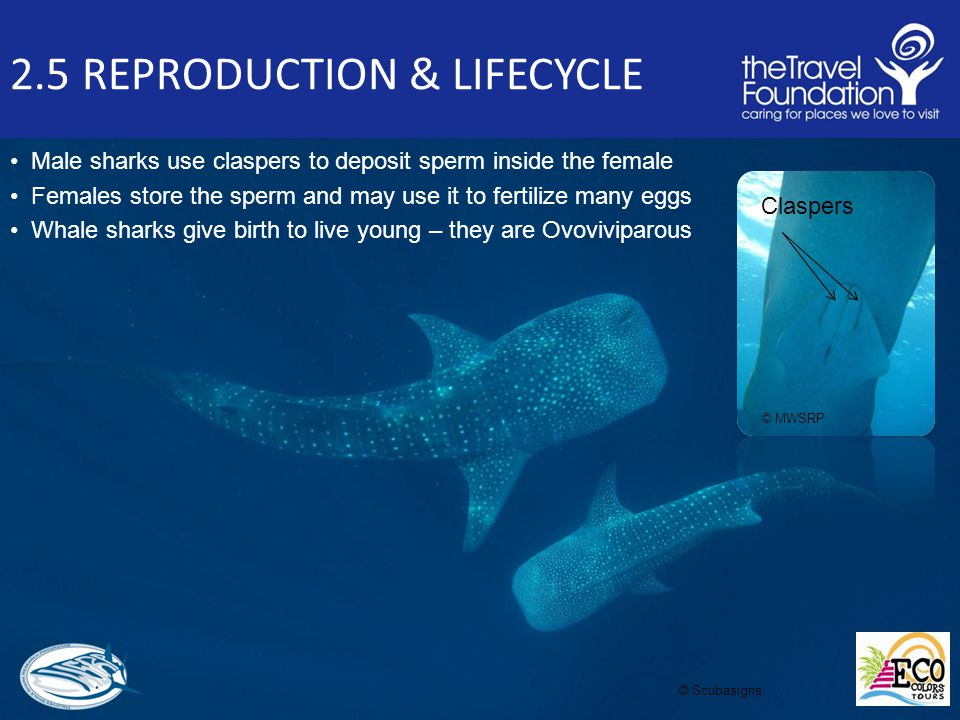 2.5 REPRODUCTION & LIFECYCLE Male sharks use claspers to deposit sperm inside the female Females store the sperm and may use it to fertilize many eggs Whale sharks give birth to live young – they are Ovoviviparous Claspers © Scubasigns © MWSRP