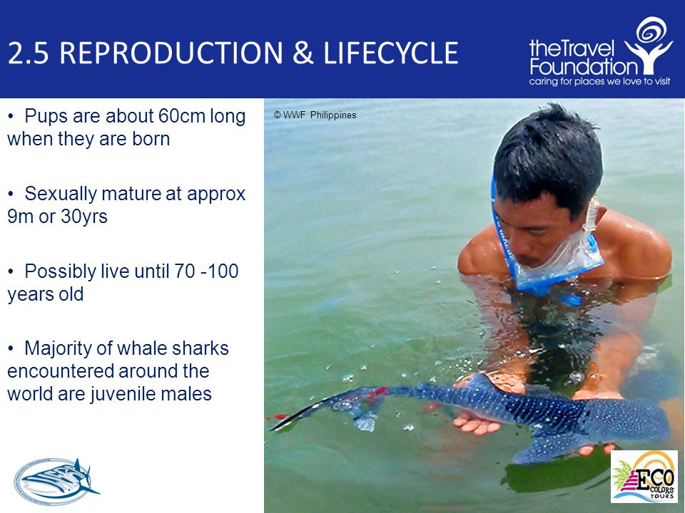 2.5 REPRODUCTION & LIFECYCLE Pups are about 60cm long when they are born Sexually mature at approx 9m or 30yrs Possibly live until 70 -100 years old Majority of whale sharks encountered around the world are juvenile males © WWF Philippines