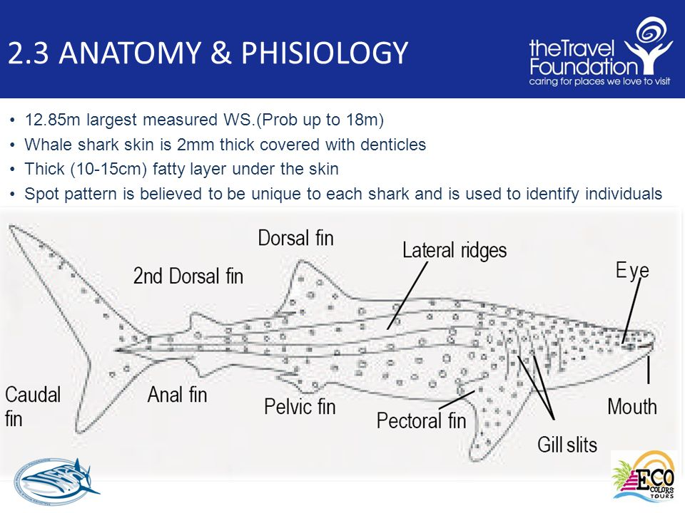 2.3 ANATOMY & PHISIOLOGY 12.85m largest measured WS.(Prob up to 18m) Whale shark skin is 2mm thick covered with denticles Thick (10-15cm) fatty layer under the skin Spot pattern is believed to be unique to each shark and is used to identify individuals