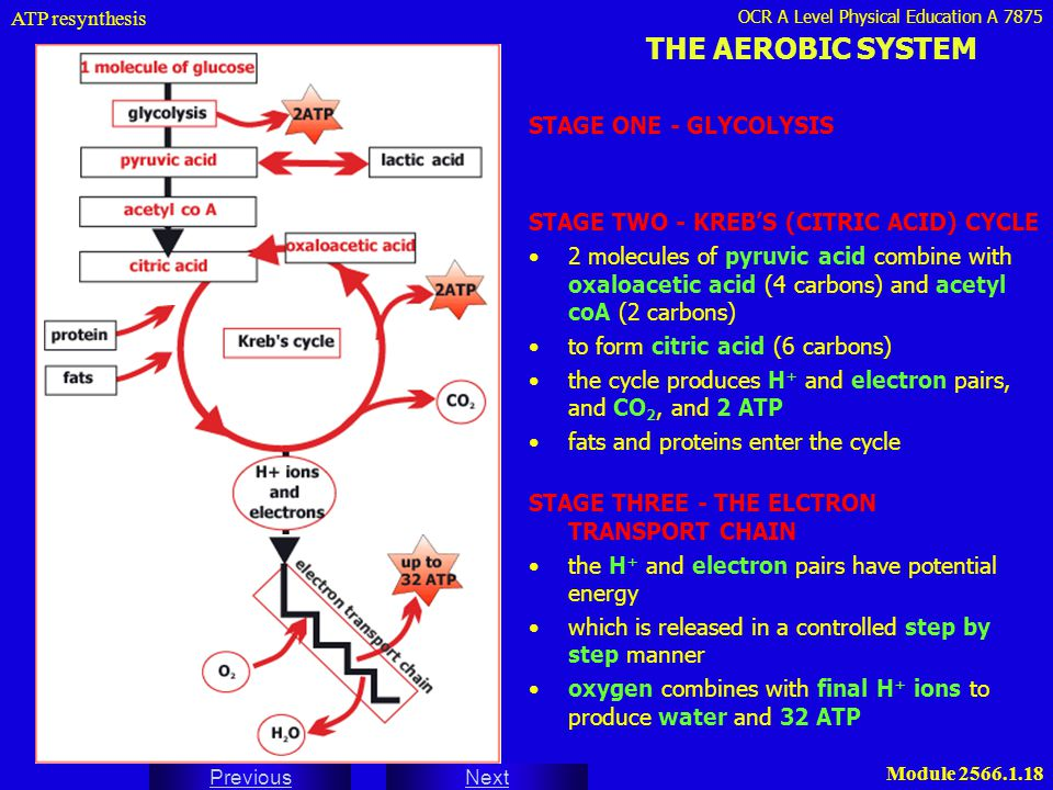 OCR A Level Physical Education A 7875 Next Previous Module 2566.1.18 THE AEROBIC SYSTEM STAGE ONE - GLYCOLYSIS ATP resynthesis STAGE TWO - KREB'S (CIT