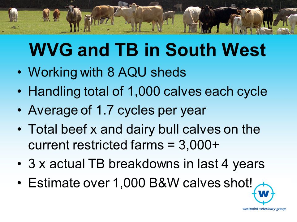 WVG and TB in South West Working with 8 AQU sheds Handling total of 1,000 calves each cycle Average of 1.7 cycles per year Total beef x and dairy bull calves on the current restricted farms = 3,000+ 3 x actual TB breakdowns in last 4 years Estimate over 1,000 B&W calves shot!