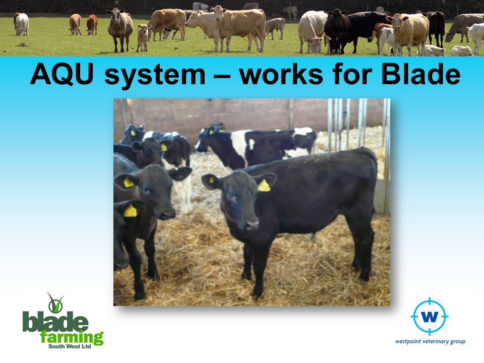 Blade Farming and AQUs Frustration for calf supply chain Richard Phelps could see potential Started in 2005 with 1 x TB approved unit Now have several sheds on several farms each with own TB licence as AQU Capacity of around 2,000 calves per cycle Around 1.5 cycles per AQU per year