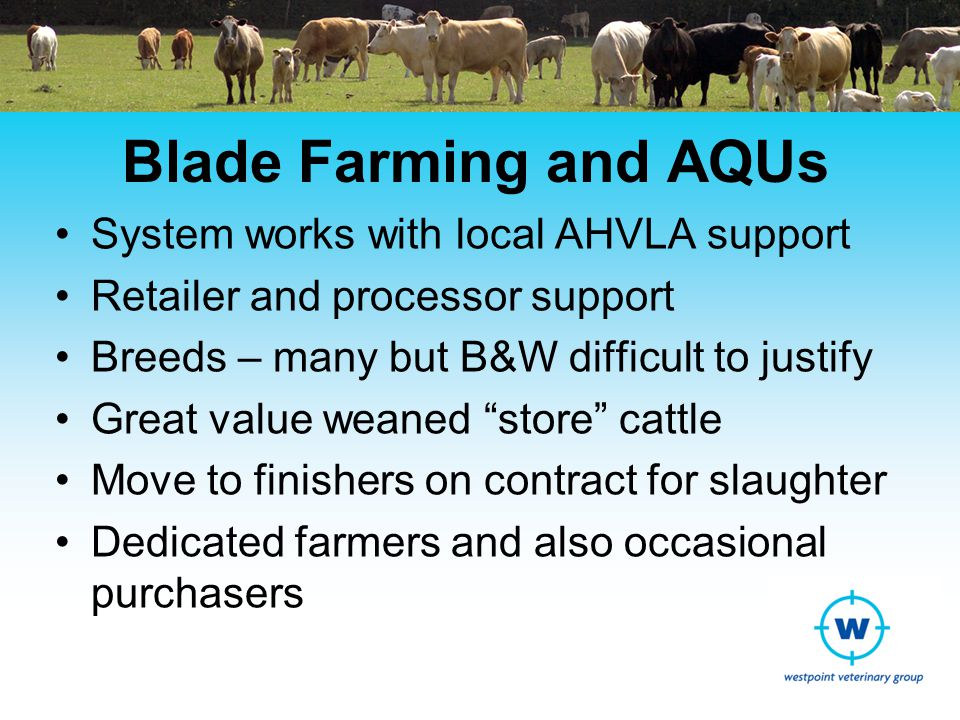 Blade Farming and AQUs System works with local AHVLA support Retailer and processor support Breeds – many but B&W difficult to justify Great value weaned store cattle Move to finishers on contract for slaughter Dedicated farmers and also occasional purchasers
