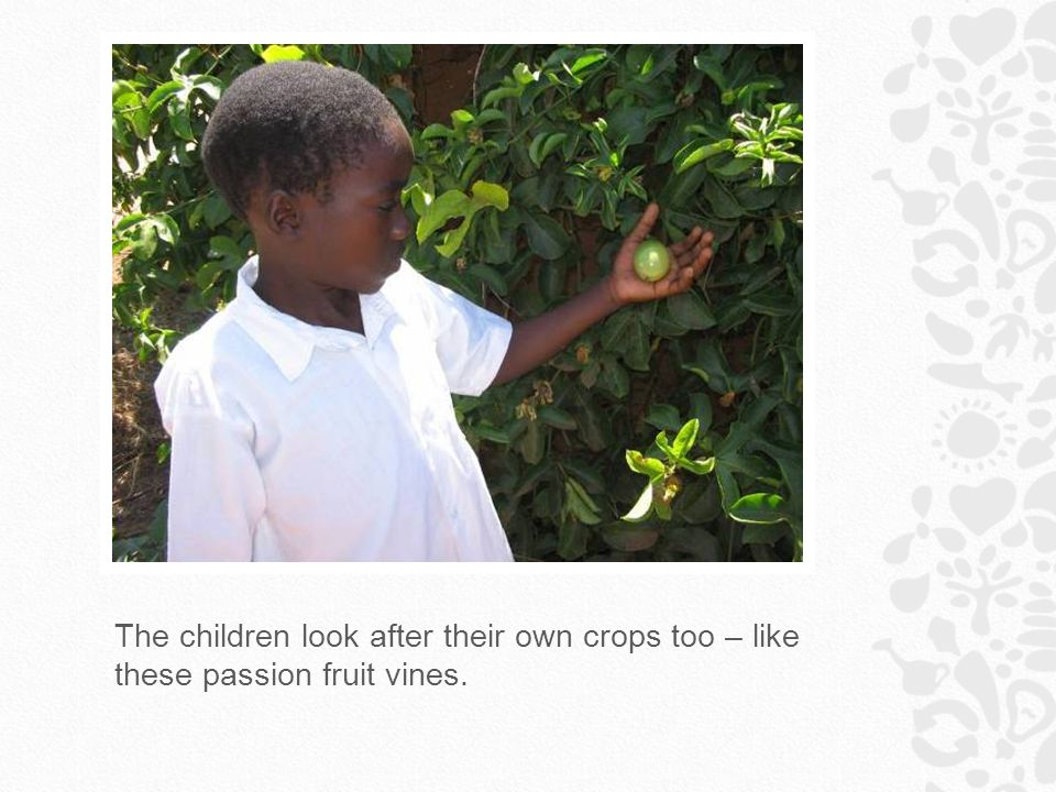 The children look after their own crops too – like these passion fruit vines.