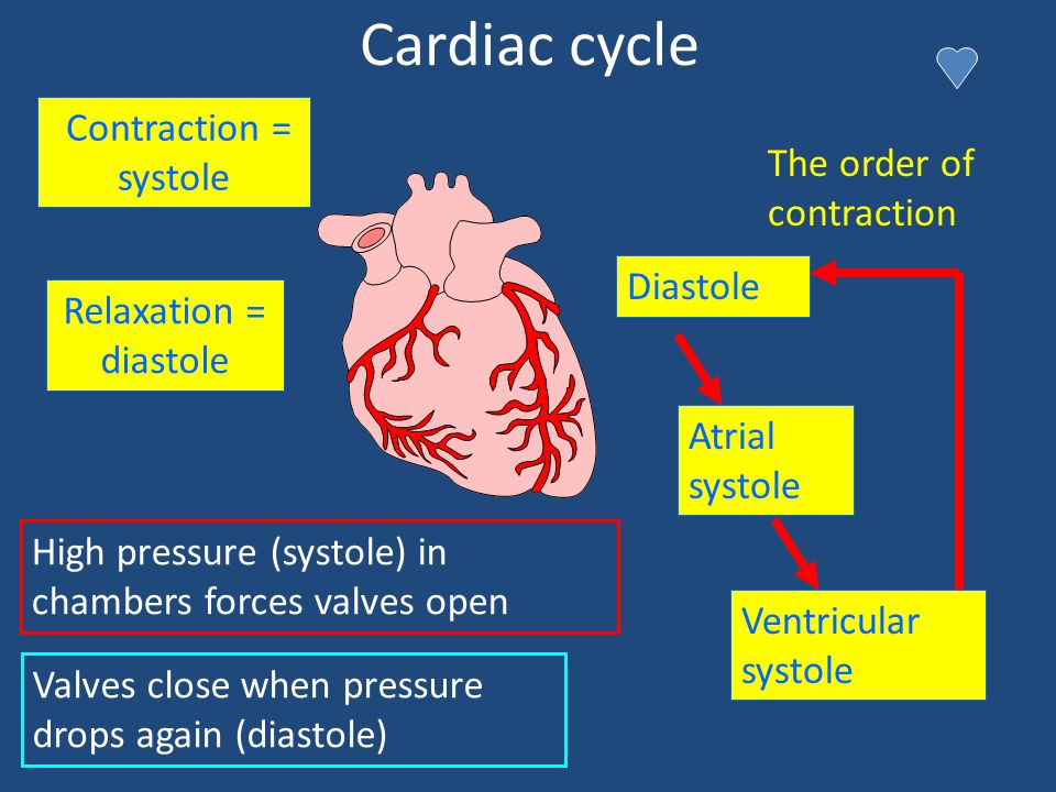 Cardiac cycle Contraction = systole Relaxation = diastole Atrial systole Diastole Ventricular systole The order of contraction Valves close when press