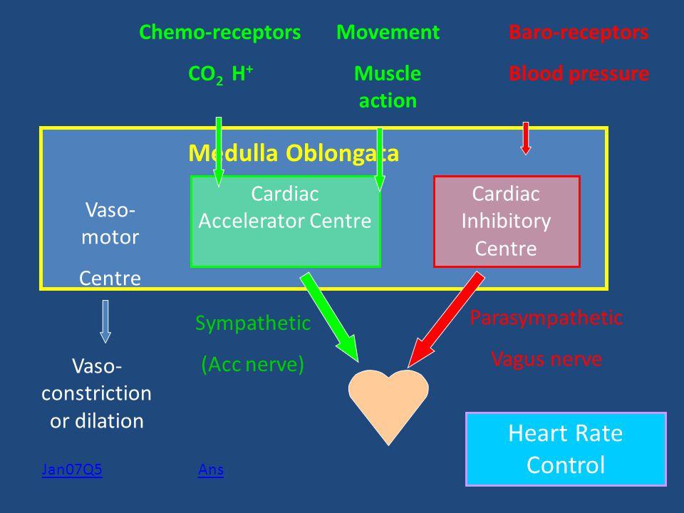 Medulla Oblongata Cardiac Accelerator Centre Cardiac Inhibitory Centre Chemo-receptors CO 2 H + Baro-receptors Blood pressure Sympathetic (Acc nerve)