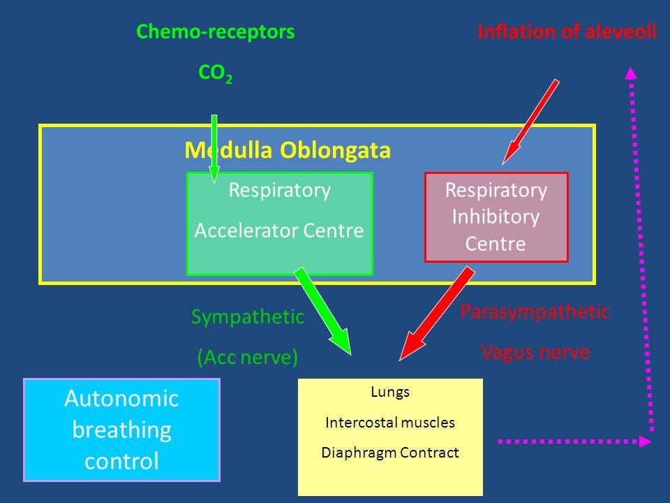 Medulla Oblongata Respiratory Accelerator Centre Respiratory Inhibitory Centre Chemo-receptors CO 2 Inflation of aleveoli Sympathetic (Acc nerve) Para
