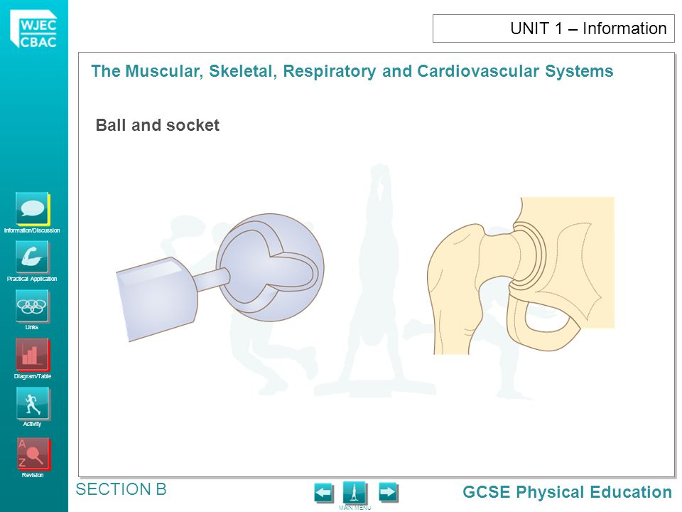 GCSE Physical Education Information/Discussion Practical Application Links Diagram/Table Activity Revision MAIN MENU The Muscular, Skeletal, Respiratory and Cardiovascular Systems SECTION B UNIT 1 – Information Ball and socket