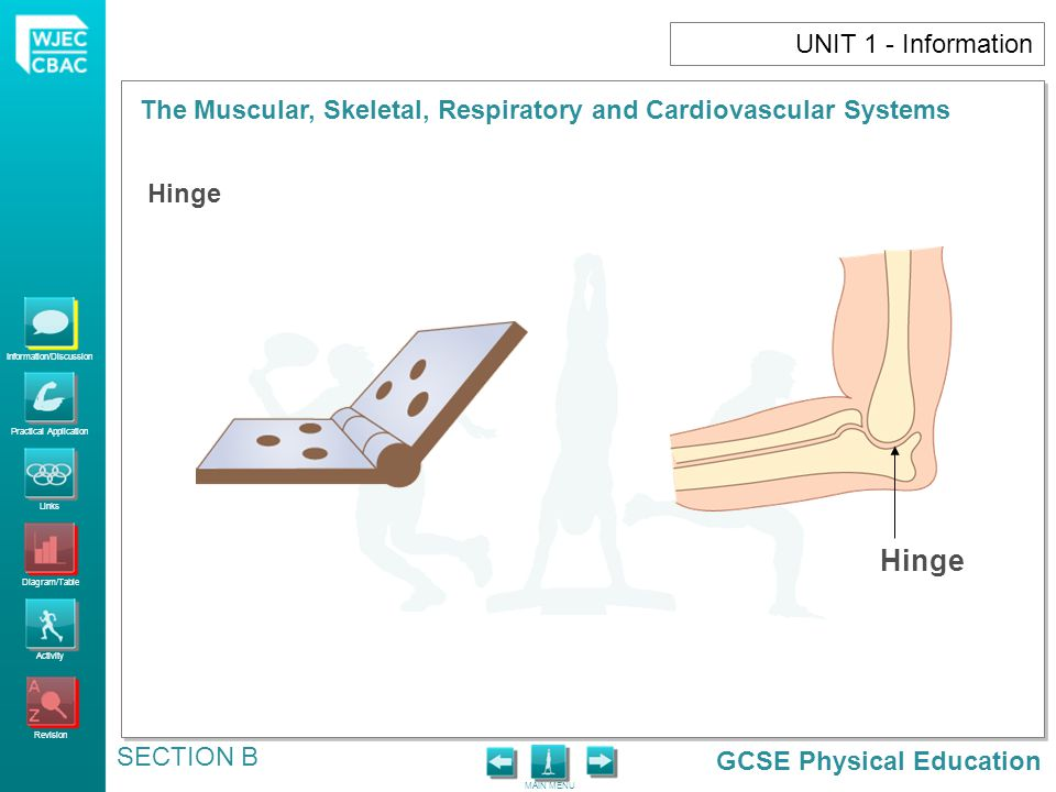 GCSE Physical Education Information/Discussion Practical Application Links Diagram/Table Activity Revision MAIN MENU The Muscular, Skeletal, Respiratory and Cardiovascular Systems SECTION B UNIT 1 - Information Hinge