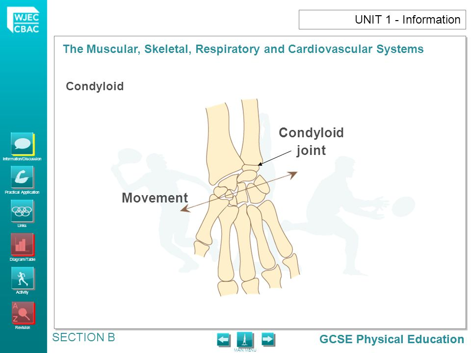 GCSE Physical Education Information/Discussion Practical Application Links Diagram/Table Activity Revision MAIN MENU The Muscular, Skeletal, Respiratory and Cardiovascular Systems SECTION B GCSE Physical Education UNIT 1 - Information Condyloid joint Movement