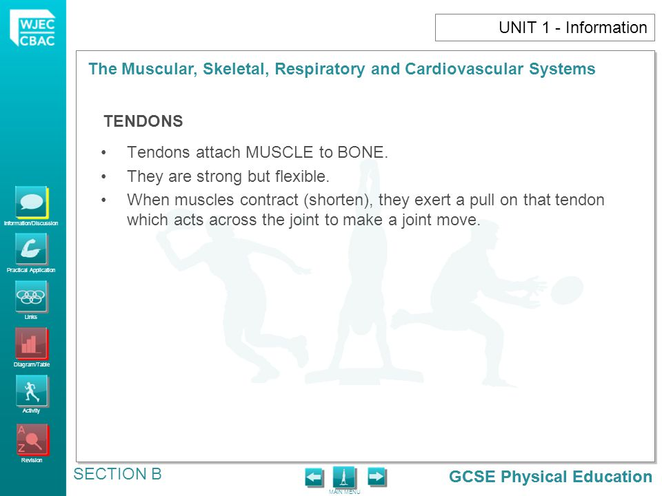 GCSE Physical Education Information/Discussion Practical Application Links Diagram/Table Activity Revision MAIN MENU The Muscular, Skeletal, Respiratory and Cardiovascular Systems SECTION B GCSE Physical Education UNIT 1 - Information Tendons attach MUSCLE to BONE.