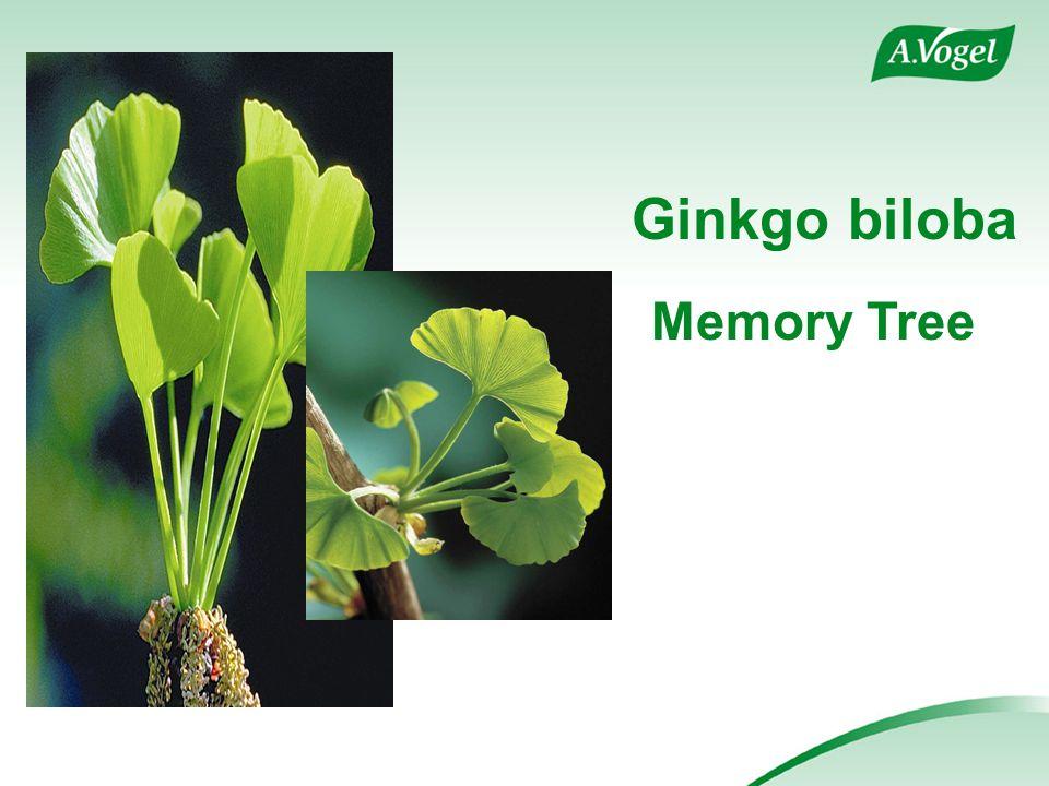 Ginkgo biloba Memory Tree