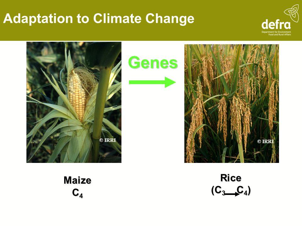 Maize C 4 Rice (C 3 C 4 ) Genes Climate Change, ©JES © IRRI Adaptation to Climate Change