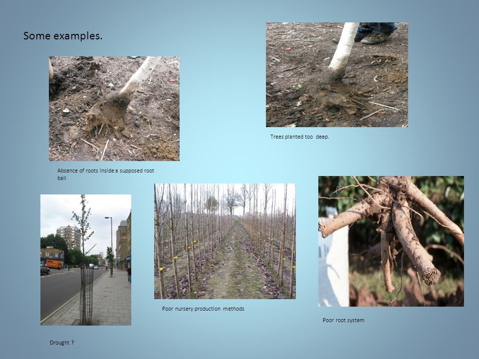 Some examples. Absence of roots inside a supposed root ball Trees planted too deep.