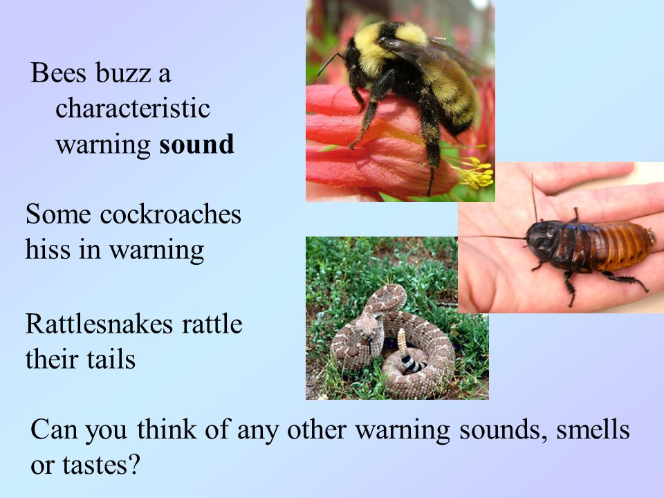 Bees buzz a characteristic warning sound Some cockroaches hiss in warning Rattlesnakes rattle their tails Can you think of any other warning sounds, smells or tastes?
