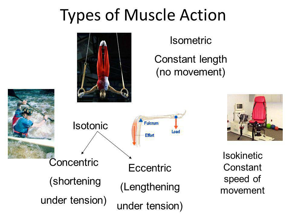Types of Muscle Action Isotonic Isometric Constant length (no movement) Concentric (shortening under tension) Eccentric (Lengthening under tension) Is