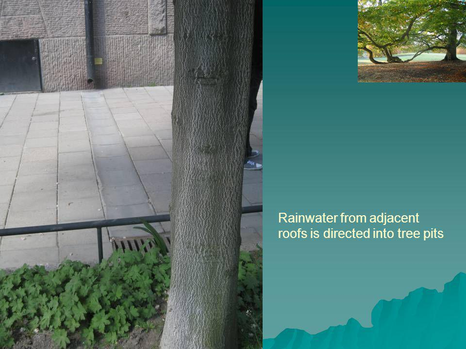 Rainwater from adjacent roofs is directed into tree pits