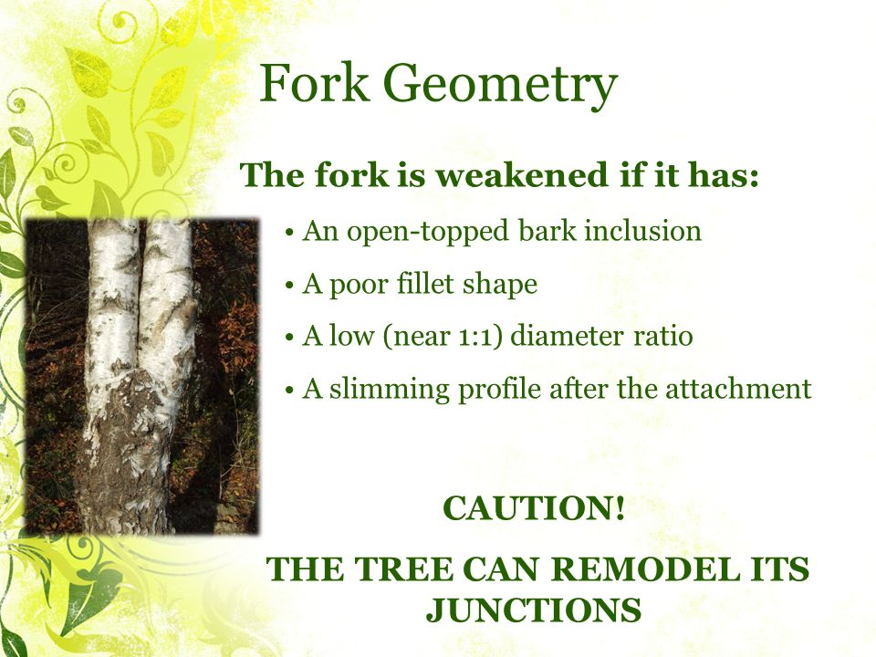 Fork Geometry The fork is weakened if it has: An open-topped bark inclusion A poor fillet shape A low (near 1:1) diameter ratio A slimming profile after the attachment CAUTION.