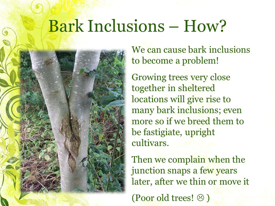 Bark Inclusions – How. We can cause bark inclusions to become a problem.
