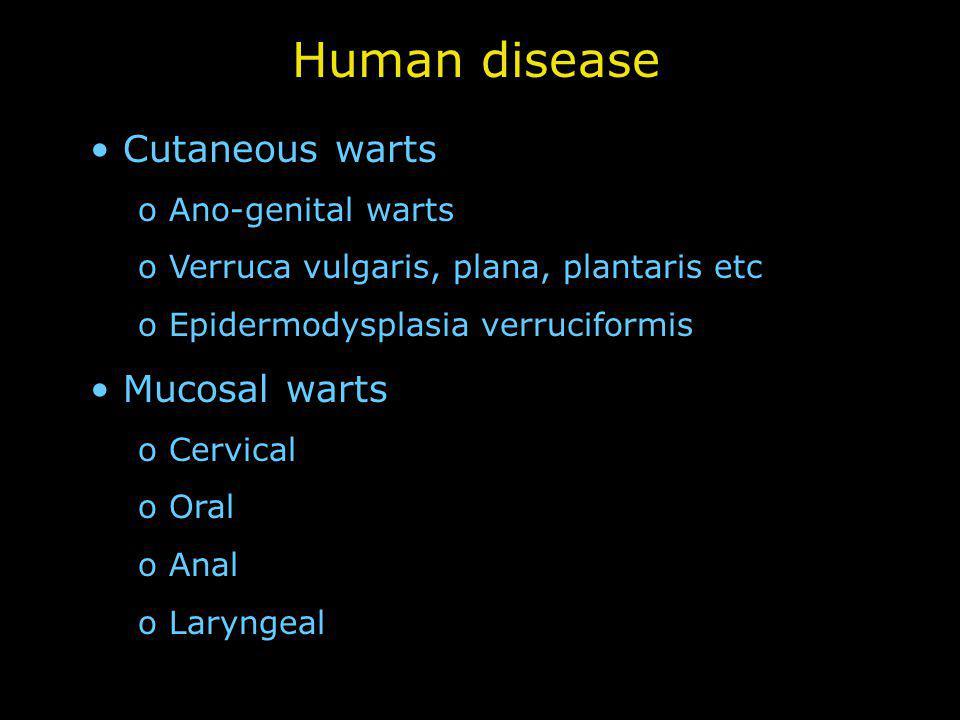 Human disease Cutaneous warts o Ano-genital warts o Verruca vulgaris, plana, plantaris etc o Epidermodysplasia verruciformis Mucosal warts o Cervical o Oral o Anal o Laryngeal