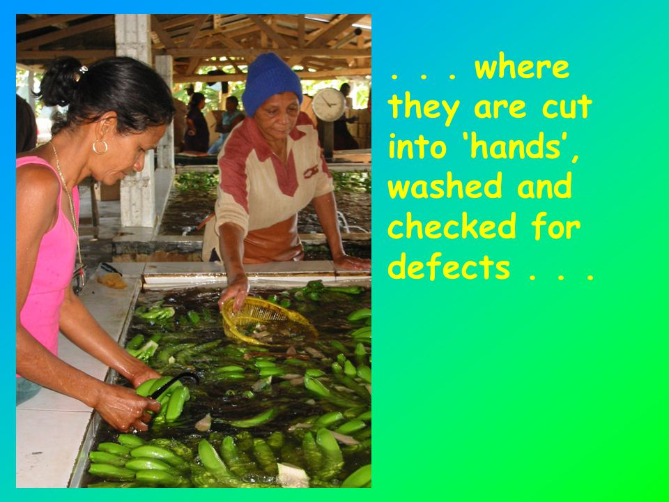 ... where they are cut into 'hands', washed and checked for defects...