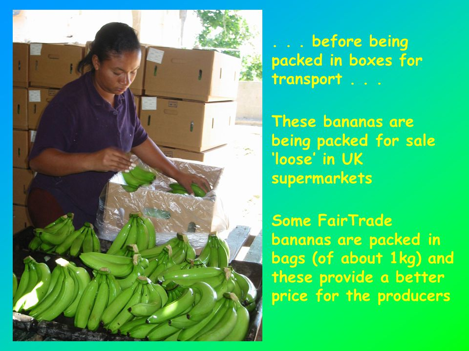 ... before being packed in boxes for transport... These bananas are being packed for sale 'loose' in UK supermarkets Some FairTrade bananas are packed