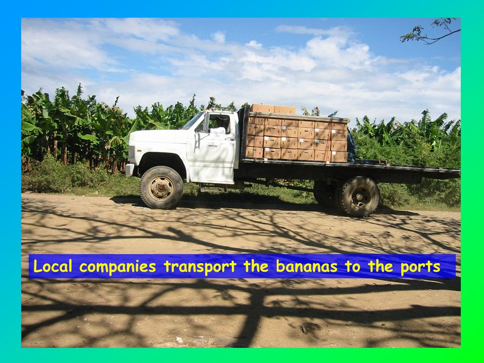 Local companies transport the bananas to the ports