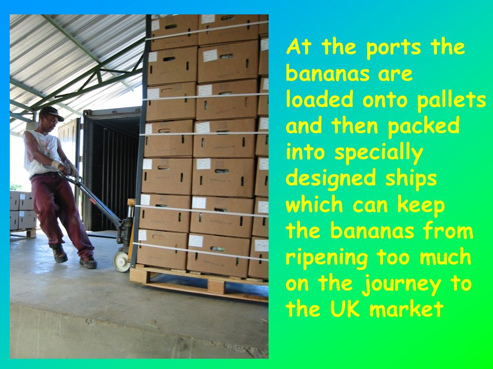 At the ports the bananas are loaded onto pallets and then packed into specially designed ships which can keep the bananas from ripening too much on the journey to the UK market