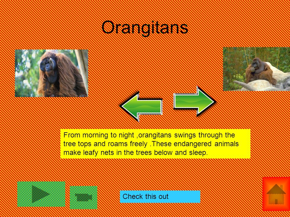 Orangitans From morning to night,orangitans swings through the tree tops and roams freely.These endangered animals make leafy nets in the trees below