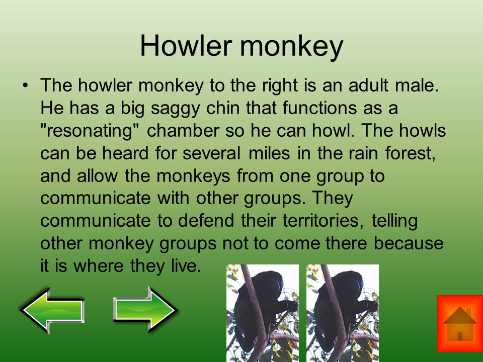 Howler monkey The howler monkey to the right is an adult male. He has a big saggy chin that functions as a