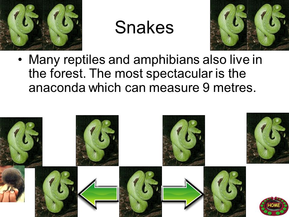 Snakes Many reptiles and amphibians also live in the forest. The most spectacular is the anaconda which can measure 9 metres.