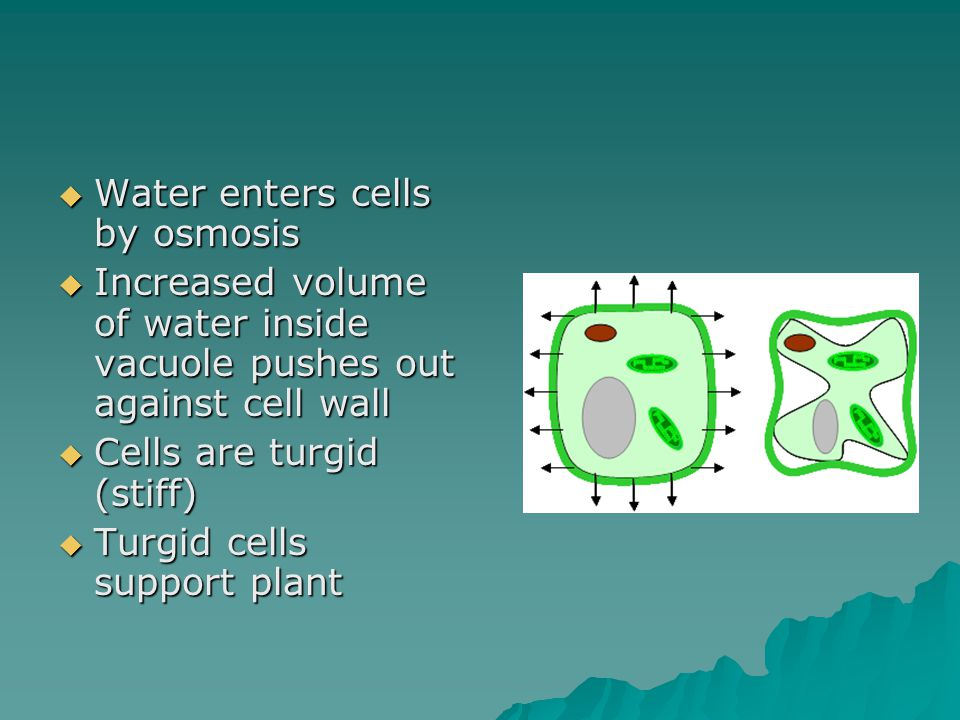  Water enters cells by osmosis  Increased volume of water inside vacuole pushes out against cell wall  Cells are turgid (stiff)  Turgid cells support plant