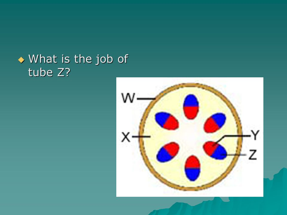  What is the job of tube Z
