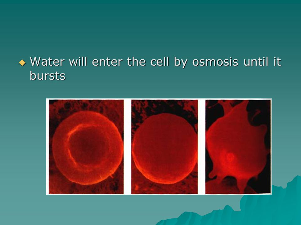  Water will enter the cell by osmosis until it bursts