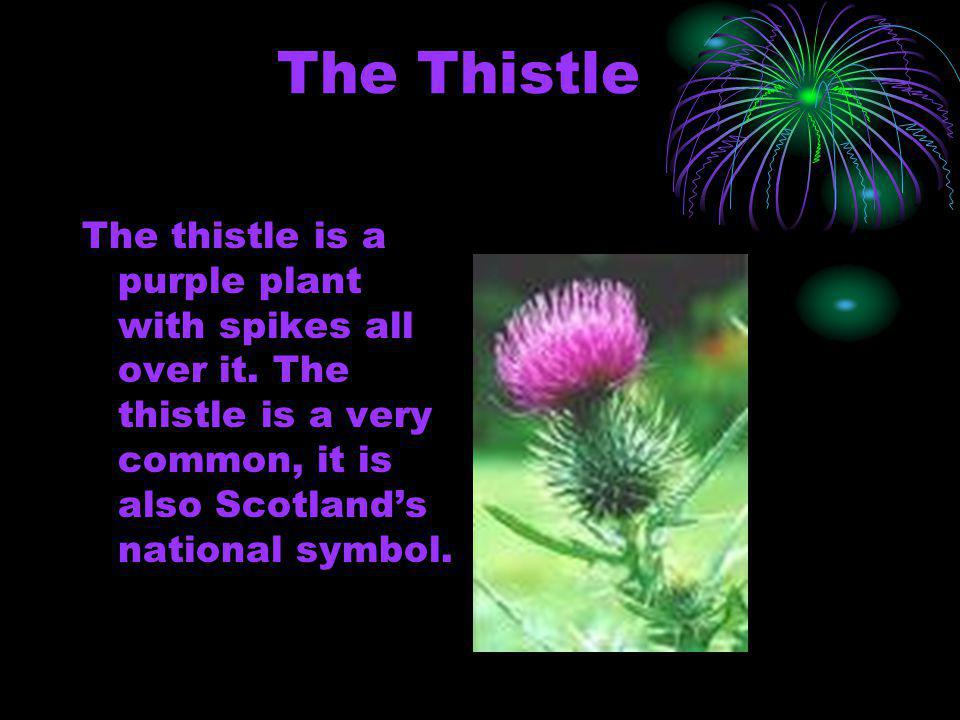 The Thistle The thistle is a purple plant with spikes all over it.