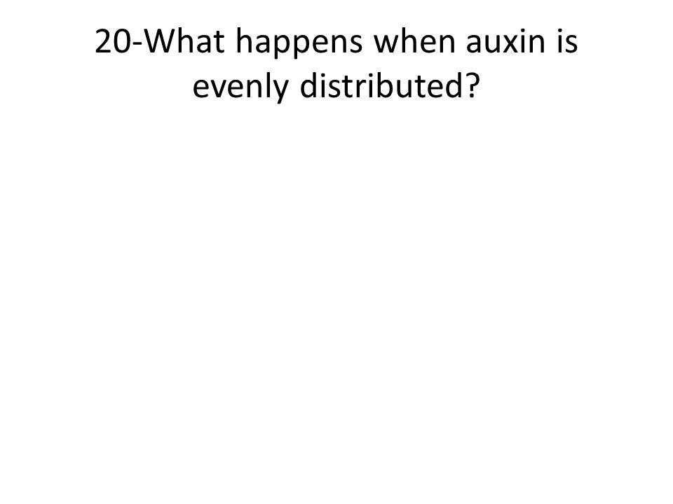 20-What happens when auxin is evenly distributed?
