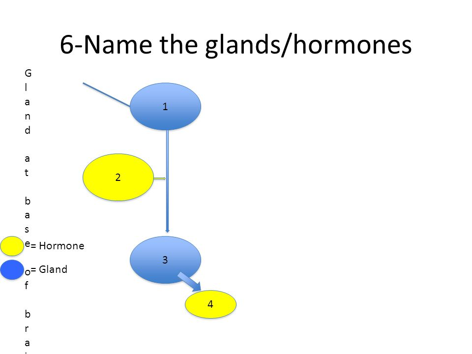6-Name the glands/hormones 1 1 Gland at base of brainGland at base of brain 2 2 3 3 4 4 = Hormone = Gland