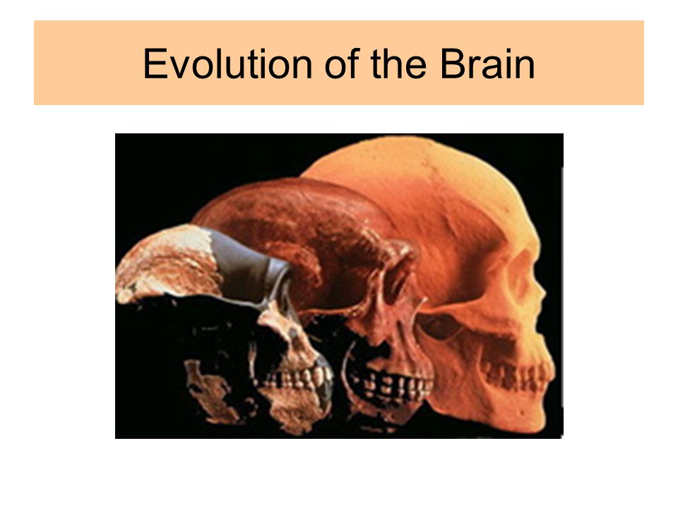 Evolution of the Brain