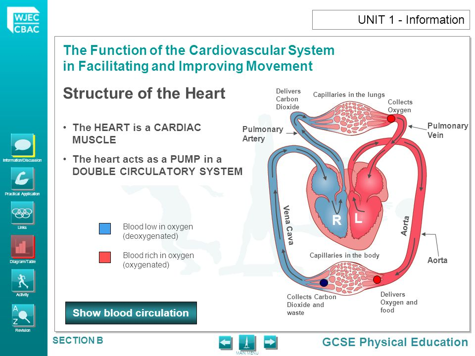 Information/Discussion Practical Application Links Diagram/Table Activity Revision GCSE Physical Education The Function of the Cardiovascular System in Facilitating and Improving Movement MAIN MENU SECTION B UNIT 1 - Information SYSTEMIC CIRCUITPULMONARY CIRCUIT Transports oxygenated blood around the body (including working muscles) and transports deoxygenated blood back to the heart.