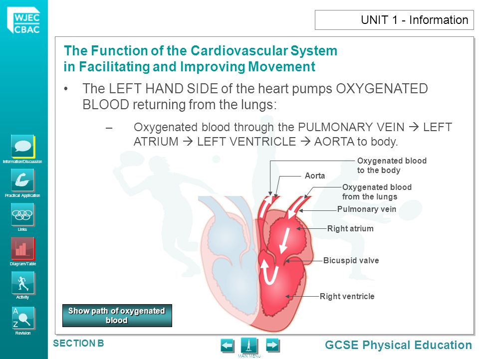 Information/Discussion Practical Application Links Diagram/Table Activity Revision GCSE Physical Education The Function of the Cardiovascular System in Facilitating and Improving Movement MAIN MENU SECTION B UNIT 1 - Activity 18.How would a 1500m runner benefit from higher levels of red blood cells.