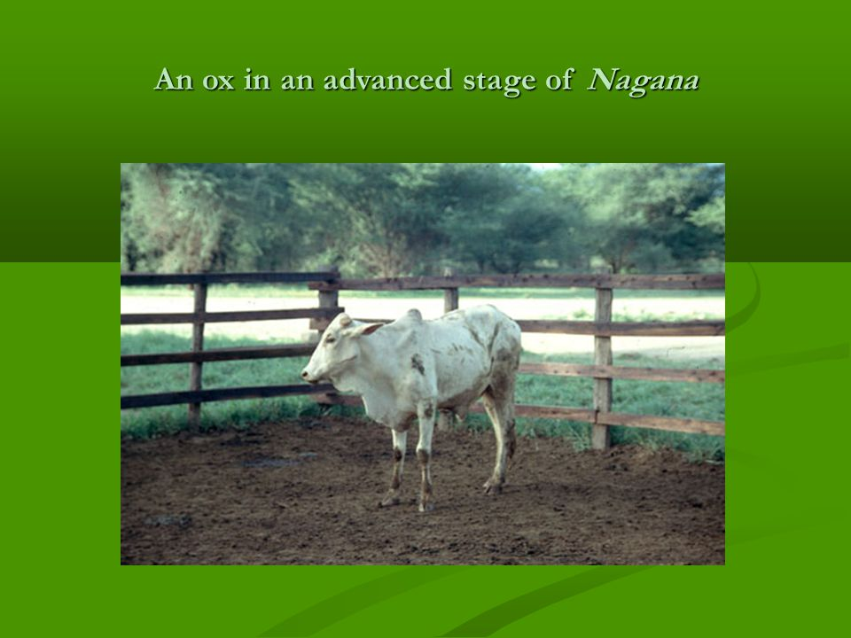 An ox in an advanced stage of Nagana